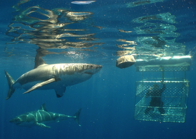 Bucket List - White Shark
