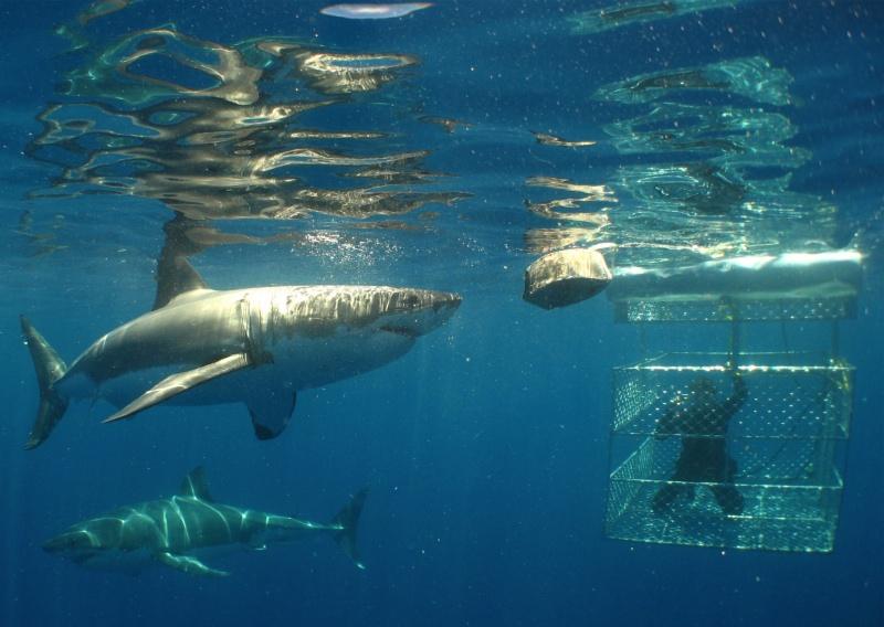 Bucket List - White Shark
