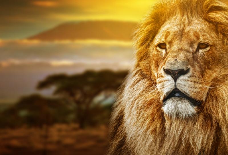 bold as a lion characteristics of an alpha male
